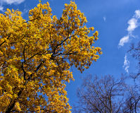 O carvalho com amarelo sae contra o céu azul Fotos de Stock