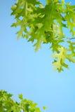 O carvalho vermelho verde-claro sae do fundo Foto de Stock Royalty Free