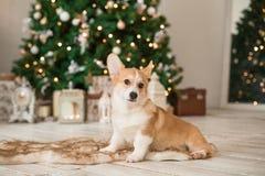 O casaco de lã do Corgi de Galês do cachorrinho senta-se no assoalho foto de stock royalty free