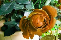 O casamento aumentou planta da flor para a decoração foto de stock