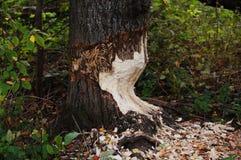 O castor rói uma árvore grossa Fotografia de Stock Royalty Free