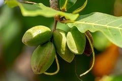 O catappa de Terminalia ou a árvore de amêndoa indiana, igualmente conhecido como a amêndoa tropical livre com porcas fecham-se a fotografia de stock