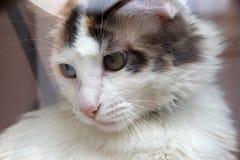 O catus do Felis do gato doméstico foto de stock royalty free