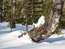 O cavaleiro da neve agacha-se em um tronco curvado do vidoeiro em uma floresta nas montanhas de Altai, Rússia do inverno imagens de stock royalty free