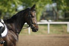 O cavaleiro de salto supera a cavalo barreiras Imagens de Stock Royalty Free