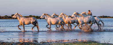 O cavaleiro no cavalo de Camargue galopa através do pântano Fotos de Stock Royalty Free