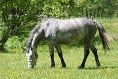 O cavalo Fotografia de Stock Royalty Free