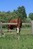 O cavalo atrás de uma cerca sob uma grama verde de céu azul queima-se Fotos de Stock