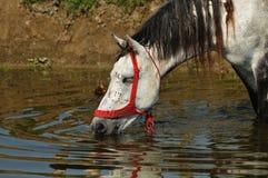 O cavalo bebe a água no furo molhando Fotografia de Stock