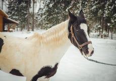 O cavalo bonito de Brown está andando pela neve fotografia de stock royalty free