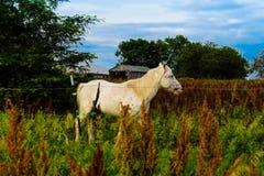 O cavalo branco imagens de stock royalty free