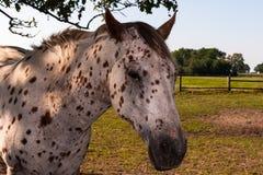 O cavalo branco com preto pontilha o retrato Foto de Stock