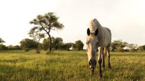 O cavalo branco curioso olha o fotógrafo fotografia de stock