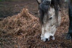 O cavalo branco da casa bonita come o feno imagem de stock