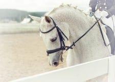 O cavalo branco em competições Fotografia de Stock Royalty Free