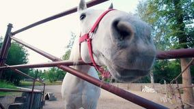 O cavalo branco engraçado aproxima a câmera na cerca filme