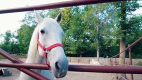 O cavalo branco mastiga e mostra a língua na cerca video estoque