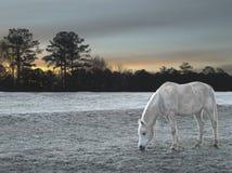 O cavalo branco na geada cobriu o campo durante o nascer do sol Imagens de Stock Royalty Free