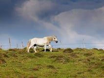 O cavalo branco pastou no verde do verão com fundo nebuloso dramático Foto de Stock