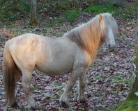 O cavalo branco selvagem olha a câmera ao andar afastado fotografia de stock royalty free