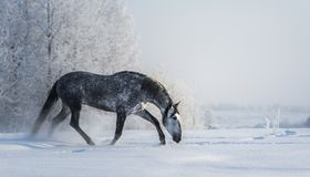 O cavalo cinzento espanhol anda na liberdade no tempo de inverno imagem de stock