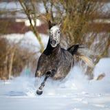 O cavalo cinzento galopa no fundo do inverno Fotos de Stock Royalty Free