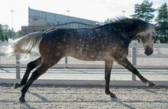 O cavalo cinzento running controla dentro Fotografia de Stock Royalty Free