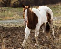 O cavalo cola para fora sua língua Fotos de Stock