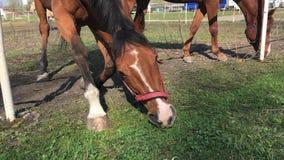 O cavalo com Brown e cabe?a branca come a grama Fim acima vídeos de arquivo