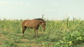 O cavalo come as folhas do milho, campo de milho verde vídeos de arquivo