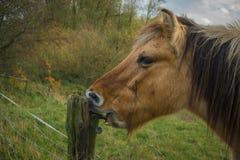 O cavalo come a madeira Fotografia de Stock