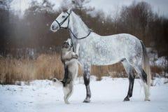 O cavalo conduz o cão pelo freio Trotador e Alaskan de Orlovskiy fotos de stock royalty free