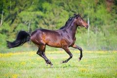 O cavalo de baía com corridas da flor galopa nas horas de verão Foto de Stock