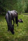 O cavalo de baía com um potro Foto de Stock