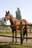 O cavalo de baía está na cerca do verão Fotos de Stock