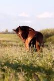 O cavalo de baía está no campo e gerencie o visor Imagens de Stock Royalty Free