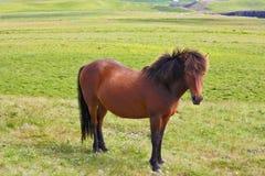 O cavalo de baía lustroso Imagens de Stock Royalty Free