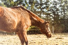 O cavalo de Brown agita fora a poeira no dia ensolarado foto de stock royalty free
