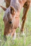O cavalo de Brown come a grama no pasto fotografia de stock
