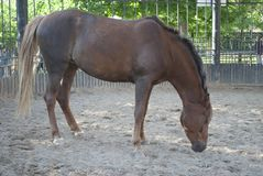 O cavalo de Brown está no prado foto de stock