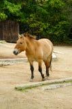 O cavalo de Przewalski, animais amigáveis no jardim zoológico de Praga Foto de Stock