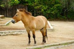 O cavalo de Przewalski, animais amigáveis no jardim zoológico de Praga Fotografia de Stock Royalty Free