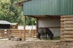 O cavalo do anão Foto de Stock