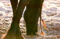 O cavalo do frisão aspira a neve Imagens de Stock Royalty Free