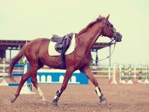 O cavalo dos esportes trota Fotografia de Stock
