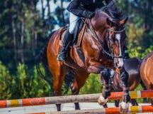 O cavalo e o cavaleiro do adestramento da baía na execução uniforme branca saltam na competição de salto de mostra Fundo do espor Fotos de Stock