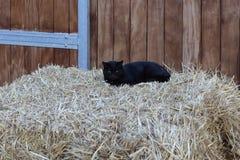 o cavalo e o gato na exploração agrícola de parafuso prisioneiro no mês da mola podem em Alemanha sul Fotografia de Stock Royalty Free