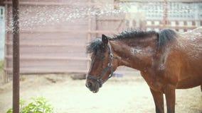 O cavalo está banhando-se sob o pulverizador de água no prado filme