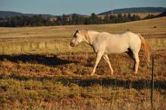 O cavalo está indo em casa Imagens de Stock Royalty Free