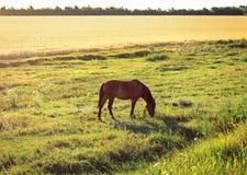 O cavalo está pastando Foto de Stock Royalty Free
